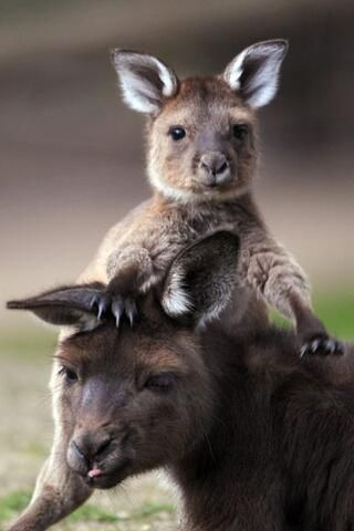 A joey with his Mum. Love kangaroos :-)