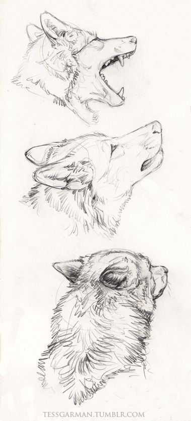 Wolf Drawing                                                       …