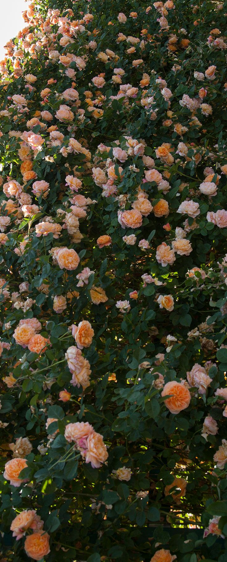 Grow beautiful Heirloom Roses and create spectacular walls of color!!!