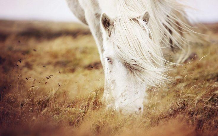 nature, field, summer, grass, white horse, photo, image, hd
