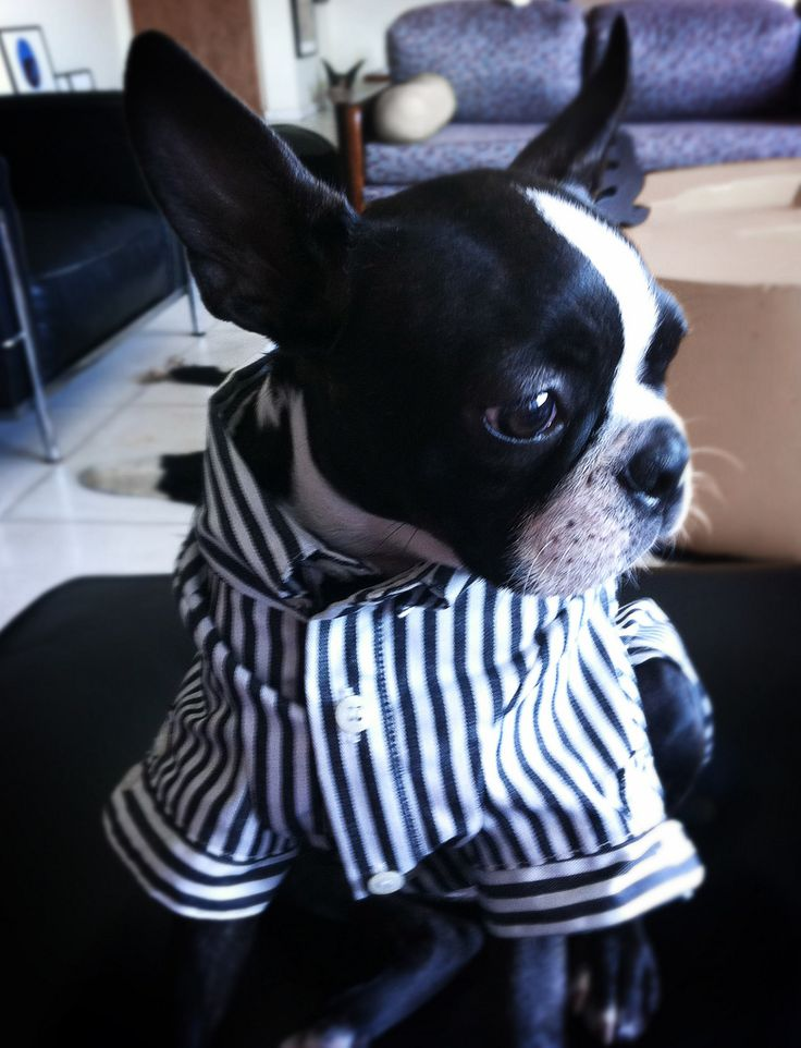 Boston Terrier puppy in shirt