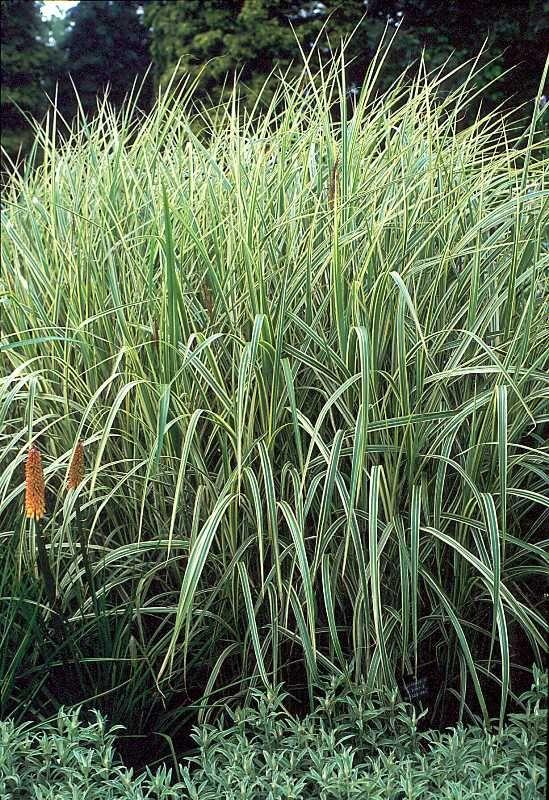 91 best ornamental grasses images on pinterest for Colorful perennial grasses