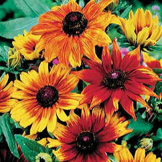 A native American Gloriosa Daisy (Rudbeckia) with gigantic blooms of bronze or golden with a burgundy center.
