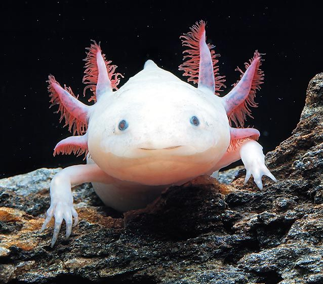 Axolotls (also know as water dragons) have the unique ability to regenerate most body parts. In a period of months, they can grow entire new limbs and even portions of the brain and spine. And also, they seem so sympathetic!