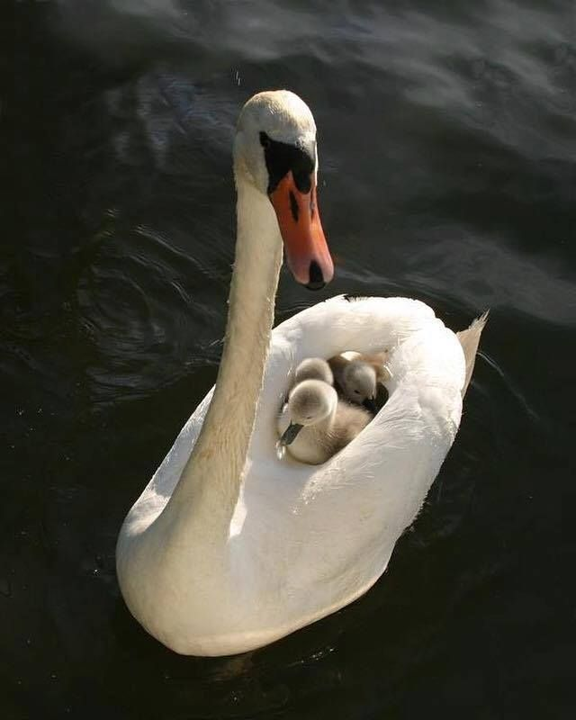 Mother swan with her baby