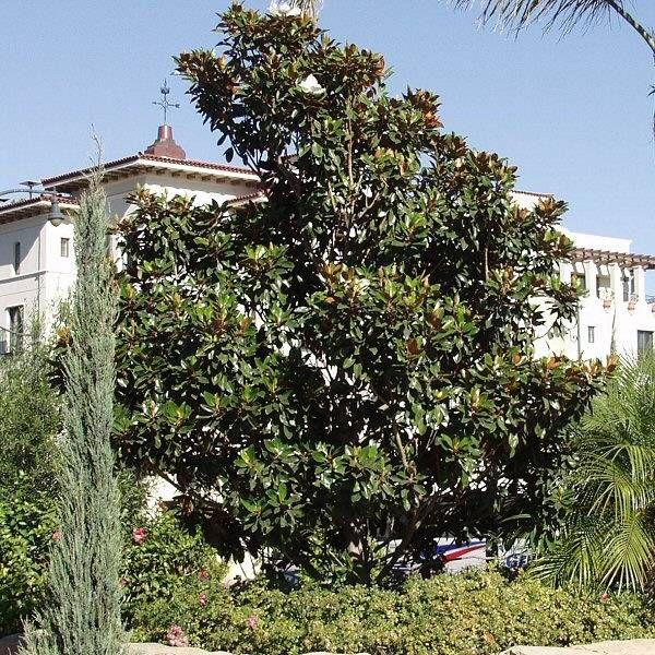 Dwarf Southern Magnolia (Magnolia grandiflora 'Little Gem ...
