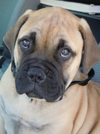 Cute bull mastiff puppy