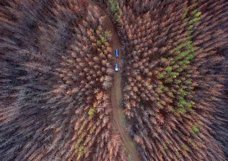 Aerial view of a forest area consumed by a massive fire and now being sowed by dogs in Talca, about 350 kilometers south of Santiago, Chile, on June 23, 2017. Instead of a vast, ancient native forest, there are only fallen trunks and burned grasslands. But in an unprecedented campaign, three border collies were helping reforest extensive areas of Chile devastated by forest fires in early 2017.