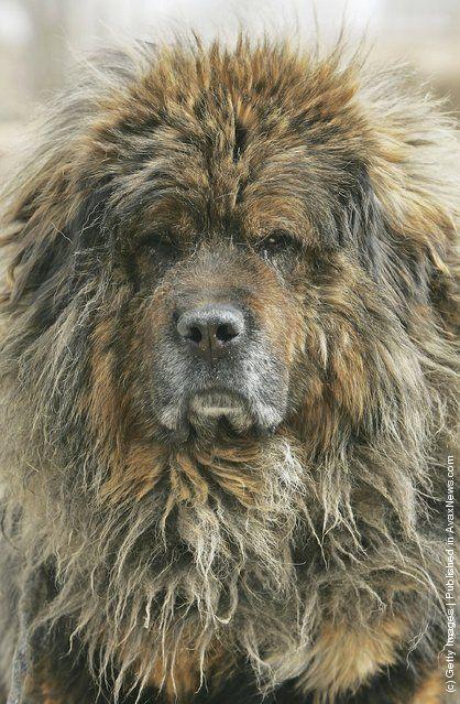 Assyirian Dog Breeds