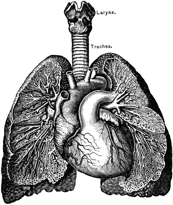 Lungs and Heart ...LOOOOVE.