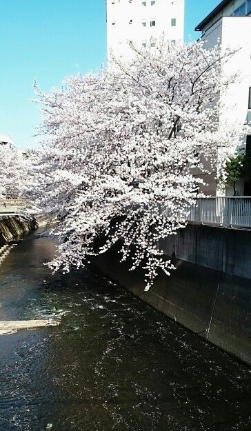 神田川の桜❗