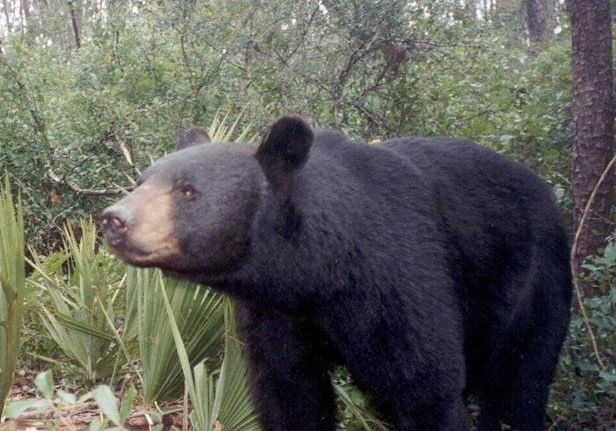 With the apparent uptick in bear attacks on Florida's Gulf Coast, is the black bear population in the panhandle on the rise?