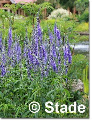 Staudenfoto zu Veronica longifolia 'Blauriesin' (Langblättriger Garten-Ehrenpreis)