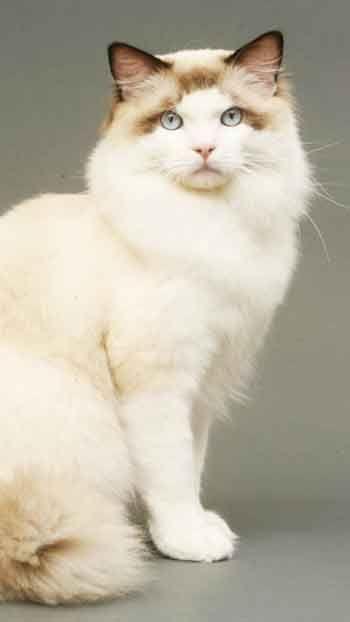 Nice Ragdoll Cat 7