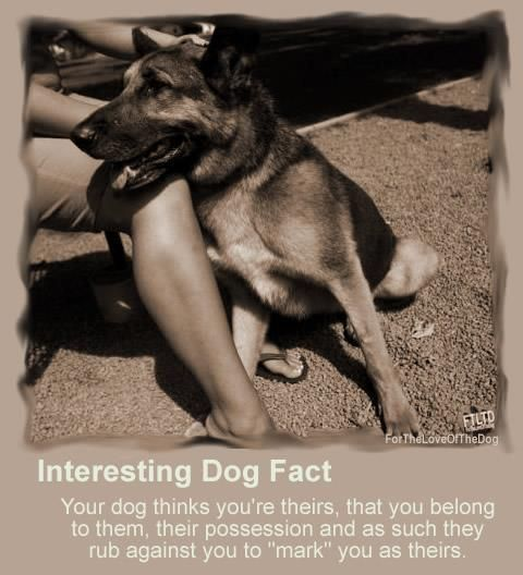 """Interesting dog fact: Your dog thinks you're theirs; that you belong to them; their possession, and as such they rub against you to """"mark"""" you as theirs."""