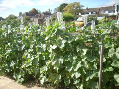 Tight on gardening space?  Encourage your cukes to grow vertically!  (I plan on trying this!)