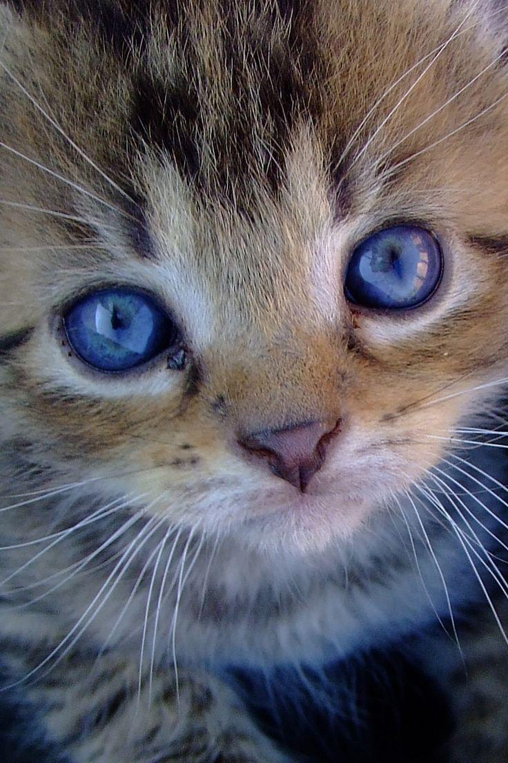 kitten met blauwe ogen