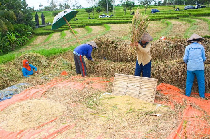 Harvest activity at ricefield in Bali.