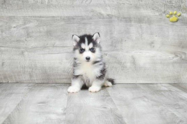 12 Week Old Pomski Puppies Pomsky Puppies Pomeranian Husky For
