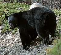 Black bear feeding on bearberry in spring - Click for more info