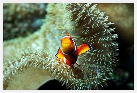 Los seres marinos tienden a establecer las alianzas mas fascinantes en aras de un mayor éxito de sobrevivencia. Es el caso de las anémonas y sus diferentes socios, los invitamos a leer esta entrada del blog, que la disfruten.