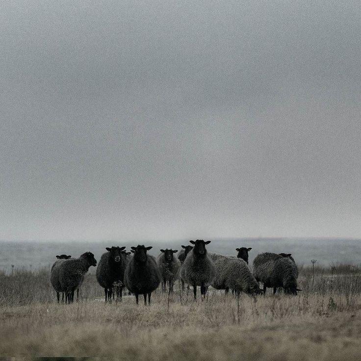 Some sheep. #sheep #gotlandsfår #fårö #gotland #sweden by arkland_swe