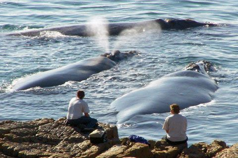 The world's best land-based whale-watching spot is located in Hermanus in the…