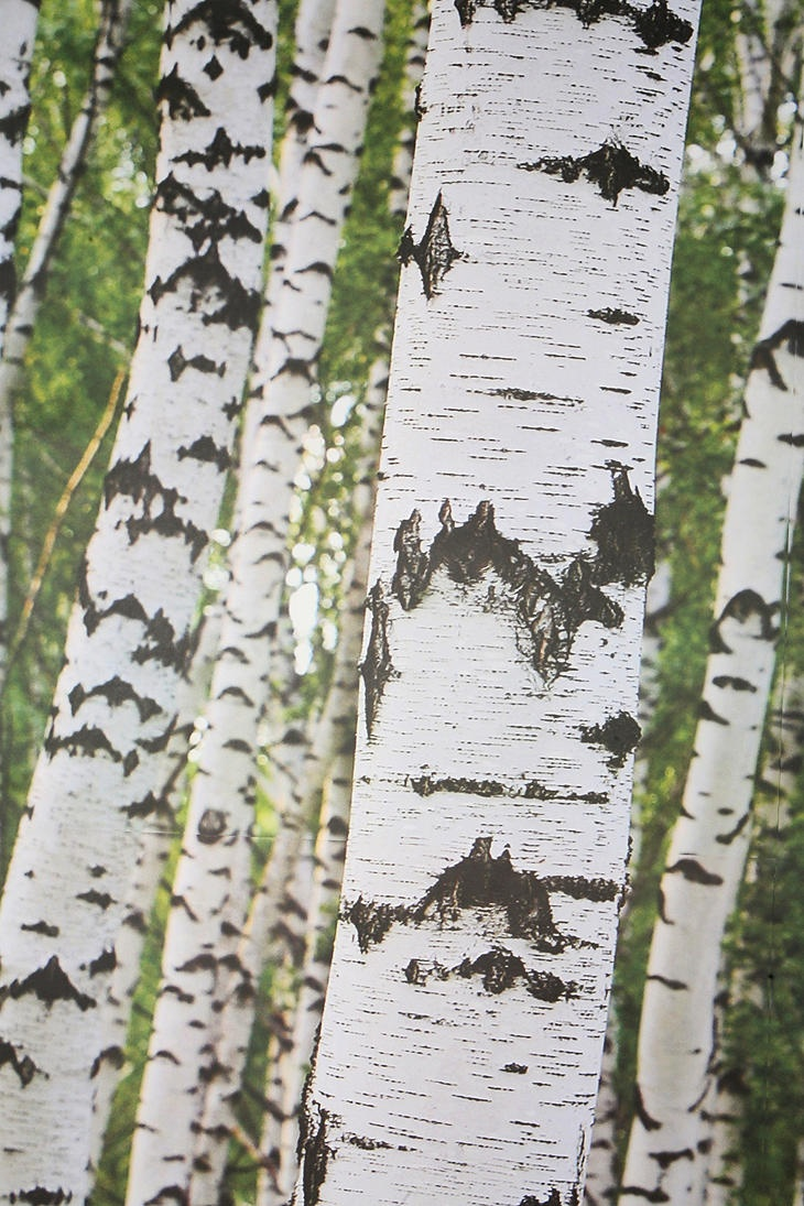 Birch tree wall mural illusory view birch wood for Brewster birch wall mural