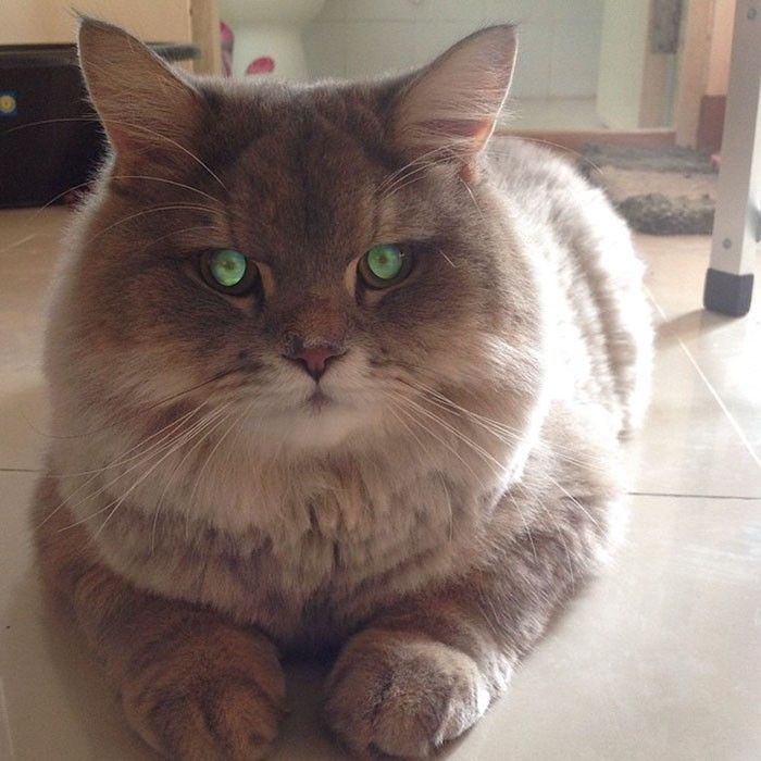 #cat #cute #fluffy #thailand