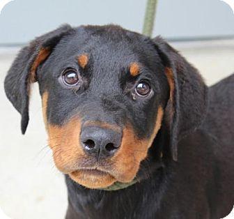Hagerstown, MD - Rottweiler Mix. Meet Zena, a puppy for adoption. http://www.adoptapet.com/pet/18274346-hagerstown-maryland-rottweiler-mix