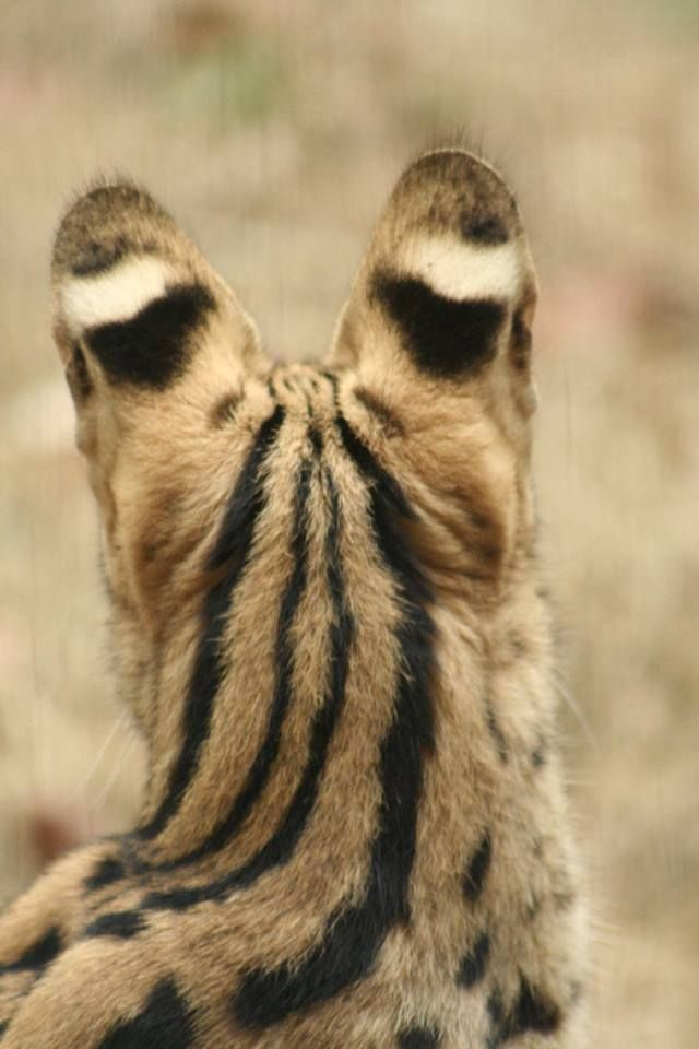 Beautiful fur of a Serval
