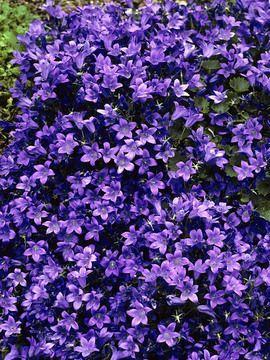 Shade Garden. Deer resistant, blooms all summer, nodding purple blue cups Campanula Birch Hybrid