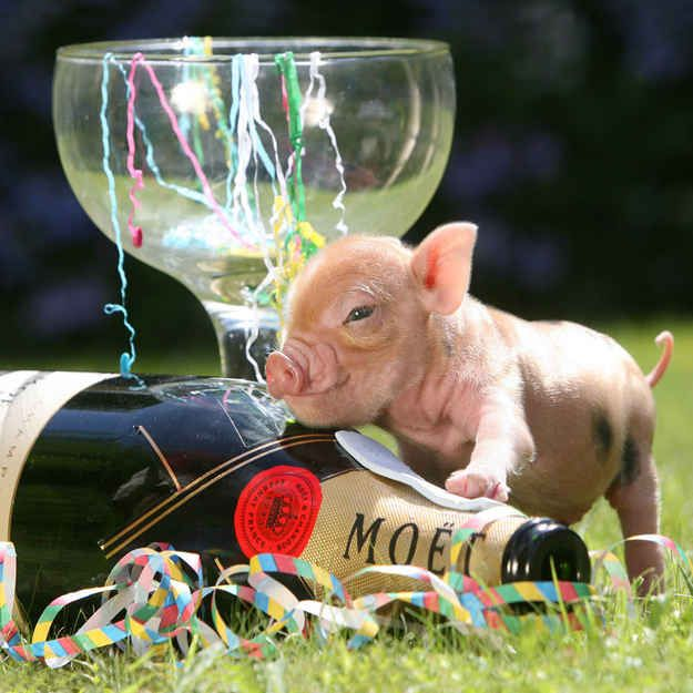 The 20 Pictures Of Miniature Pigs You Need To See Before You Die - BuzzFeed Mobile