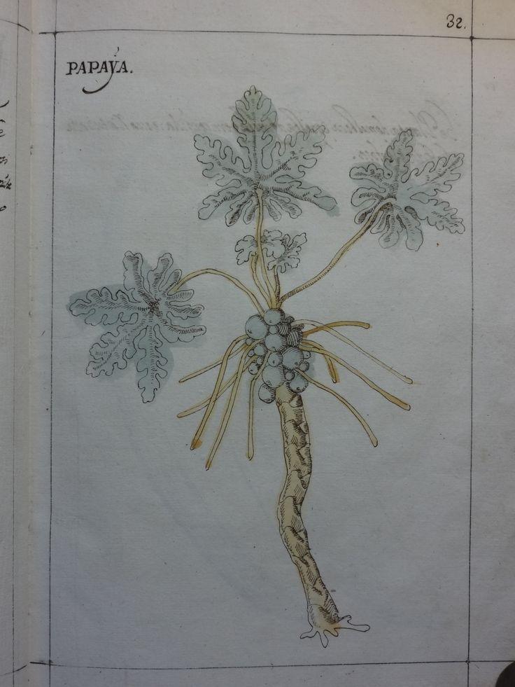 """DSC01310 - Manuel Godinho de Herédia (1563-1623)- """"Summa de arvores e plantas da India intra Gangez"""". 1612. Manuscrito, original autógrafo. Arquivos da Abadia de Tongerlo - Cota: AAT-V 133"""