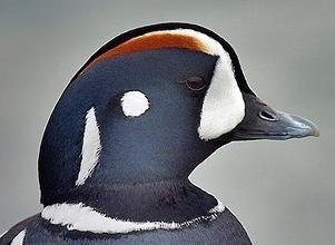 Harlequin Duck male