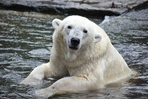 Arrivée d'une femelle ours polaire au Zoo de La Palmyre