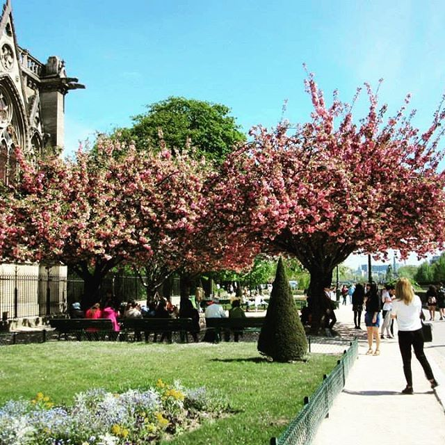 🇫🇷Cherry Blossoms 🌸🌺🌸 #notredame #spring #april #2015 #cherryblossoms #picturesque #magical #paris #france #melbournelifelovetravel
