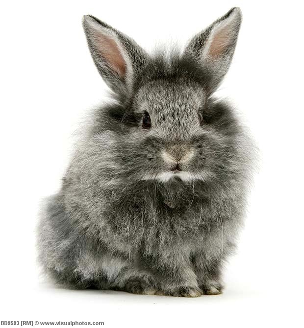 Lionhead. Love the gray. | Just too cute to ignore ...
