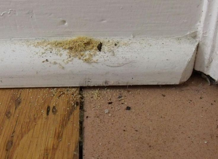 Carpenter Ant Damage To Baseboard Carpenter Ants