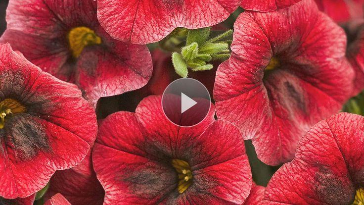 Flower Varieties For Hanging Baskets : Best hanging flower baskets ideas on
