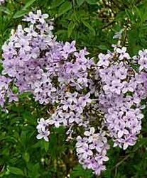 syringa x laciniata ou lilas nain à feuilles laciniées pot 3L 30/50cm - JARDIPLANTE