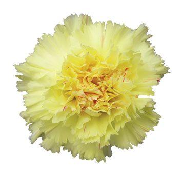 yellow carnation my favorite flower