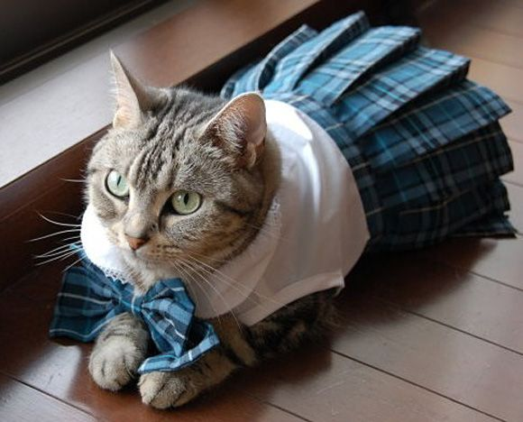 I feel like wearing plaid todayCat, Back To Schools, Nova Scotia, Dresses Up, Scottish Folding, Schools Uniforms, Funny, Kitty, Animal
