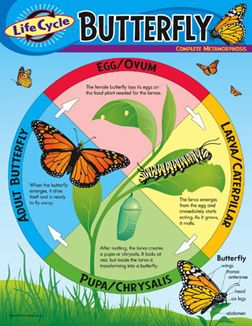 Image Result For Life Cycle Of Butterfly Science Fair Project