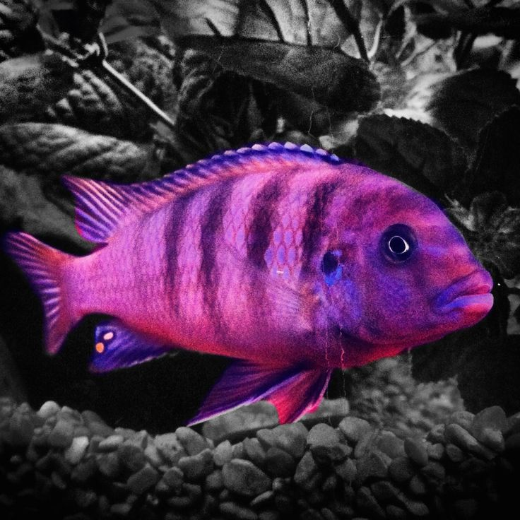 George my cobalt cichlid love fish pinterest for African freshwater fish