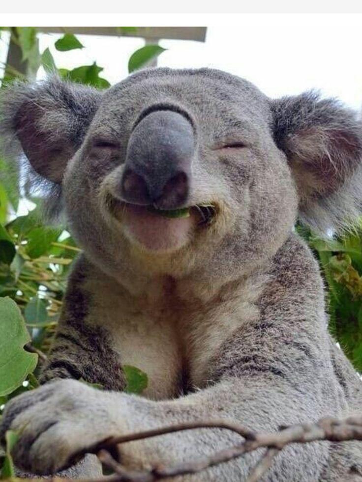 Happy koala | Australia | Animals, Smiling animals, Cute ...