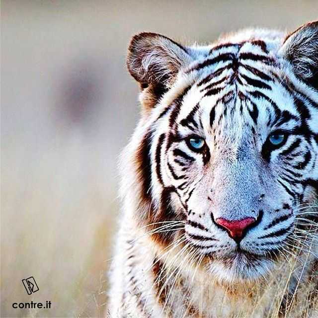 I m free to move, and I always do what I feel right for my needs! I am an animal; I am a Tiger ! Be an animal . Be a Tiger this week ! #nature #photography #mood #style #travel #blackandwhite #elegance #extreme #contreboutiques