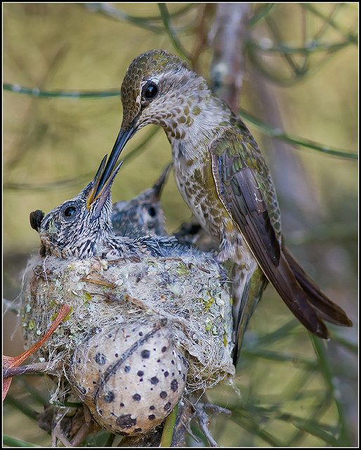 Baby hummingbird being fed by mother