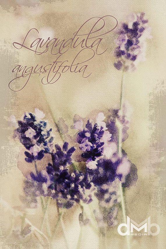 Lavandula angustifolia  Digital Download Art botanical