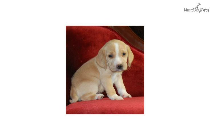 Meet Female a cute Beagle puppy for sale for $500. Mini Beagle Baby Now Available